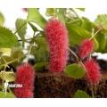 """Acalypha hispida """"small form"""""""