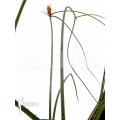 Acanthostachys strobilacea bromeliad