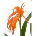 Orchid 'Ada aurantiaca'