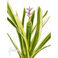 Bromeliad 'Aechmea gamosepala' 'Variegated' 'Starter'