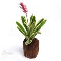 Bromeliad 'Aechmea gamosepala' 'variagated'