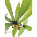 Bromeliad 'Aechmea kertesziae'