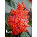 Bromeliad 'Aechmea miniata'