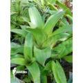 Bromeliad 'Aechmea orlandiana 'green''