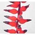 Bromeliad 'Aechmea racinae'