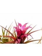 Album Bromeliads