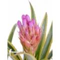 Bromeliad 'Aechmea recurvata' 'Aztec'