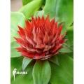 Bromeliad 'Aechmea tayoensis'