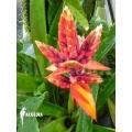 Bromeliad 'Aechmea tillandsioides'