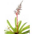 Bromeliad 'Aechmea tocantina'