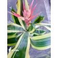Bromeliad 'Aechmea x Brazil'