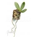 Orchid 'Aerangis articulata'