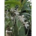 Orchid 'Aerangis biloba'