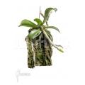 Orchid 'Aerangis brachycarpa'