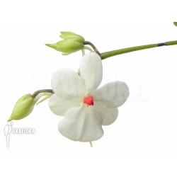 Aerangis luteoalba var. rhodosticta