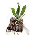 Orchid 'Aerangis mystacidii'