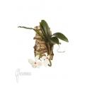 Orchid 'Aerangis rhodosticta'