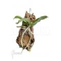 Orchid 'Aerangis somalensis'