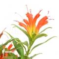 Aeschynanthus humilis