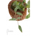 Aeschynanthus sp Vietnam