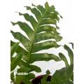 Aglaomorpha brooksii