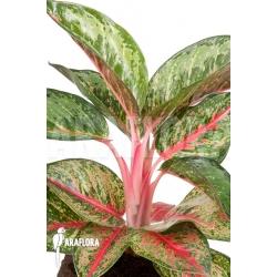 Aglaonema species red green