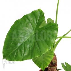 Alocasia cucullata 'Buddha Hand Plant' 1