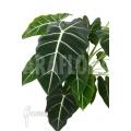 Alocasia micholitziana 'Frydek' 'XXL'