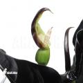 Alocasia infernalis 'Black magic'