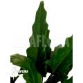 Alocasia lauterbachiana Green Form