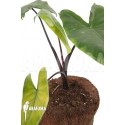 Alocasia macrorrhizos 'Black stem'