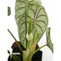 Alocasia baginda  'Names before as x cuprea Dragon scale'