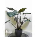Alocasia x portodora 'Black beauty'