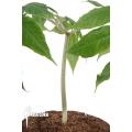 Amorphophallus aff atroviridis