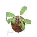Amorphophallus asper