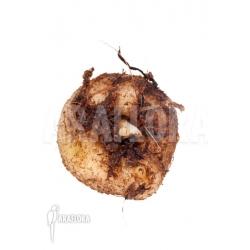 Amorphophallus consimilis