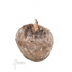 Amorphophallus gigas 'tuber'