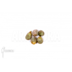 Amorphophallus mossambicensis (5 seeds)