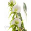 Orchid 'Angraecum eburneum'
