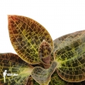 Juwel Orchid 'Anoectochilus albolineatus'