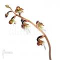 Orchid 'Anoectochilus formosanus'
