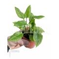Anthurium Jungle Bush Dwarf (very small)