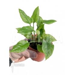 Anthurium Jungle Bush Dwarf 'L'