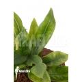 Anthurium Jungle Bush Dwarf (very small) 'L'  'TypeB'
