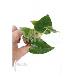 Anthurium decipiens 'starter'