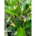 Anthurium obtusum