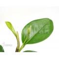 Anthurium obtusum 'S'