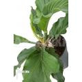 Anthurium plowmannii
