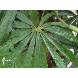 Adult Anthurium polyschistum