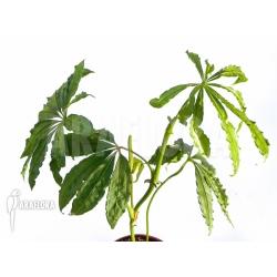 Anthurium polyschistum plant